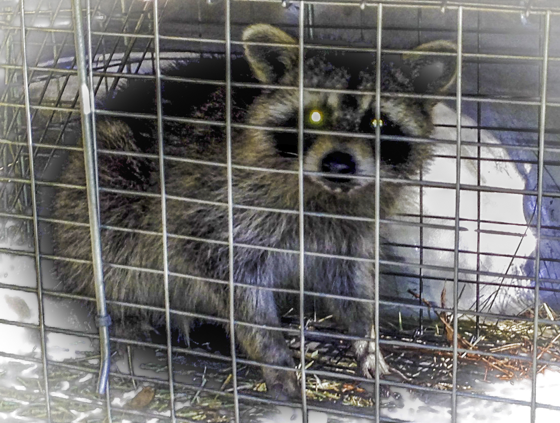 Caught Racoon