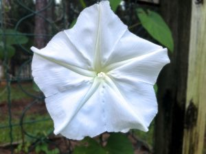 Moonflower - Ipomoea alba